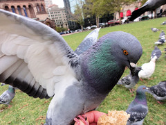 Pigeon on My Hand (brooksbos) Tags: city urban food green nature birds boston closeup geotagged ma fun photography photo feeding wildlife pigeons sony newengland cybershot bostonma copley sonycybershot bostonist masschusetts lurvely square 02116 thatsboston copley dschx5v hx5v brooksbos