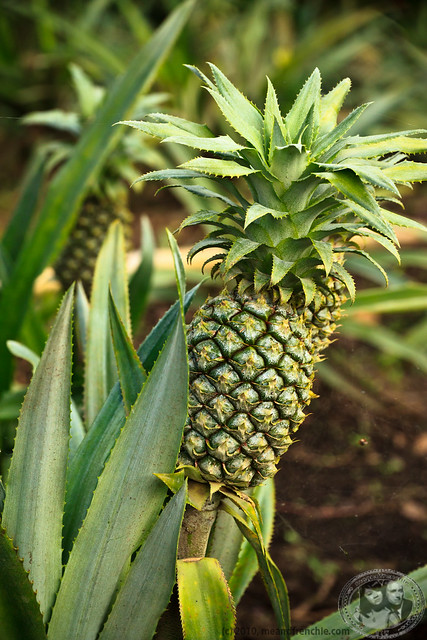 How Pineapples Grow