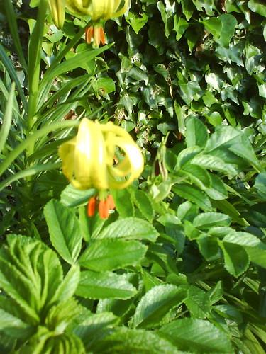 lilies turkscap