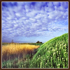 Clouds Over The Marshes (adrians_art) Tags: flowers blue sky white green yellow clouds reeds geotagged landscapes kent bravo bexley vegitation marshes peopleschoice geotags outstandingshots abigfave superbmasterpiece diamondclassphotographer