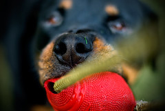 Tug of  War! (RottieLover) Tags: red dog pet pets dogs animal animals toy 50mm nikon rottweiler d200 rottie nero rottweilers 50mmf14d rotties mrsu nikonstunninggallery abigfave