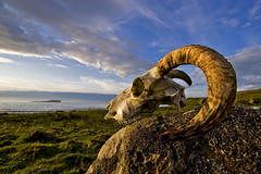Memory of the Sky (Pensiero) Tags: sea sky grass skull scotland sheep isleofskye horn portfolio ram montone teschio corno scozia skyeisland staffin islandofskye ramskull spselection