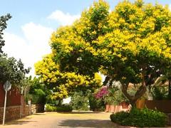 Copperpod -   (yoel_tw) Tags: tree israel fabaceae floweringtree poinciana peltophorumdubium peltophorum copperpod sibipiruna yellowflamboyant  yellowflametree yellowpoinciana kfaryona    goldenflamboyant