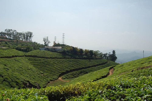 Tea Plantation at Munnar
