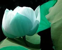 Blue lotus - by tanakawho