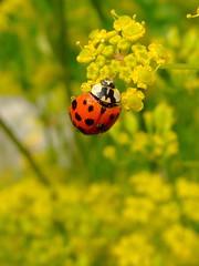 M-Bird (KurtFML) Tags: summer macro beetle insects fv5 ladybird animalplanet marienkfer naturesfinest 10faves 25faves 5for2 themacrogroup