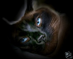 Barrymore Face Off Portrait (Chris C. Crowley) Tags: cats pets animals priceless blueeyes catscatscats barrymore petportraits catportraits beautifulcats onlythebestare tiggerthegatekeepersgardenclubhouse catsuluv