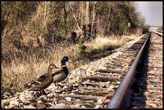 Waiting For the Train (Rascaille Rabbit) Tags: railroad train tracks ducks railroadtracks anawesomeshot