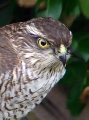 Hawk eye (Mr Grimesdale) Tags: birds hawk sony predator birdsofprey sparrowhawk gardenbirds britishbirds mrgrimsdale stevewallace dsch2 mrgrimesdale grimesdale