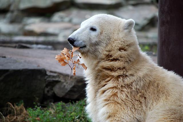 """Knut reveals """"I'm a veggie!"""""""