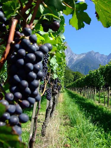 Weintrauben Fläsch