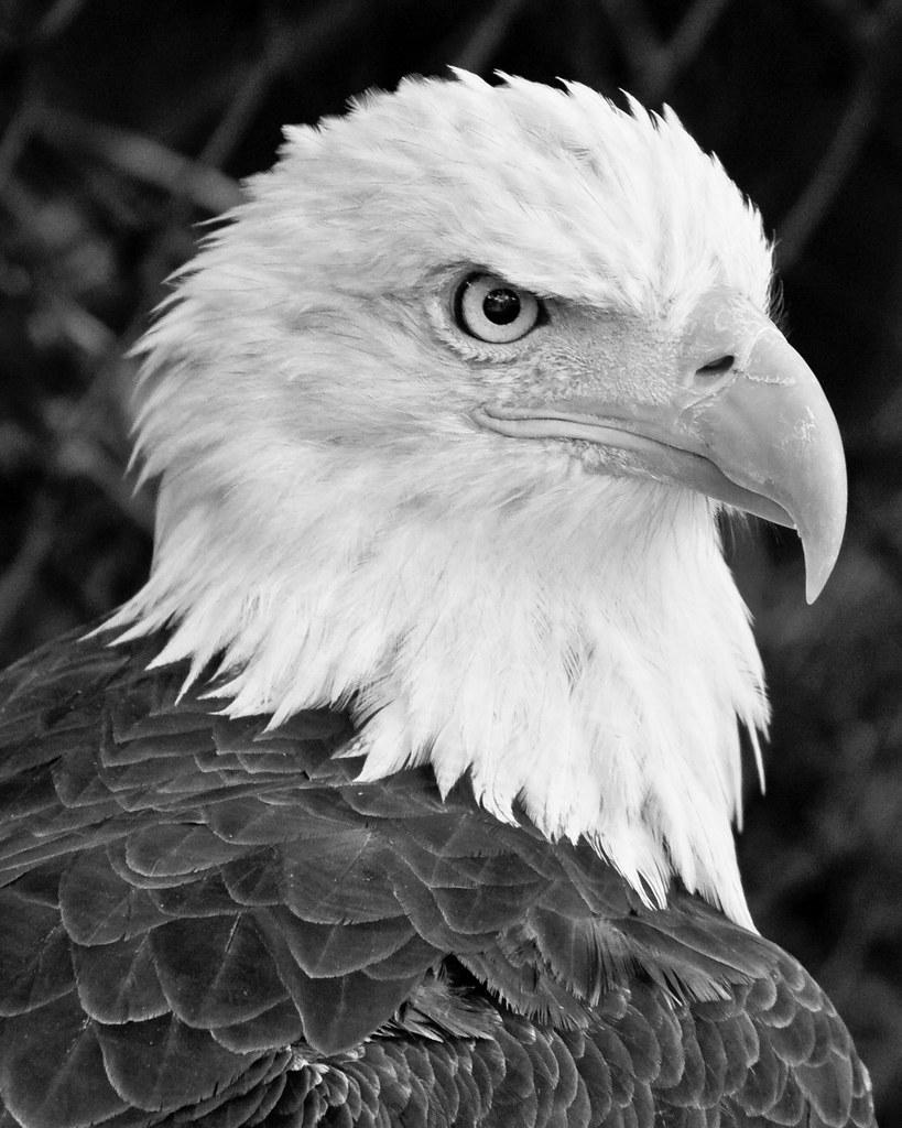Bald eagle black and white bpark 42 tags blackandwhite white black bird birds