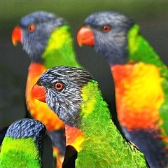 Feeding Time! (~Vision ~A i r y ~) Tags: world show bird love nature beauty animal creativity photo rainbow nikon colours graphic natural bright image earth quality creative feathers lorikeet australia images vision photograph simplicity license planet colourful visuals popular oprah lorikeets airy beaks birdlife winfrey trichoglossus haematodus d5000 visionairy 06222010 artistoftheyearlevel4 artistoftheyearlevel5 artistoftheyearlevel6