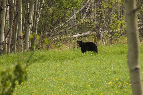 Bold Black Bear