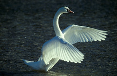 swan opening it's wings (VeraVision) Tags: wild white lake water beautiful animals swimming wings floating swans elegant flapping cl