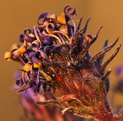 purple aster center (Judy Rushing) Tags: nature curly wildflowers nhm seedheads driedflowers purplewildflower purpleaster gamewinner thepinnaclehof pregamewinner pregamesweepwinner harrellprairiebotanicalarea tphofthepinnaclehoftphof