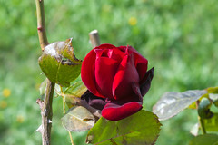 Red Rose (biros22000) Tags: nikon85mmf14 photosandcalendar mygearandmepremium mygearandmebronze