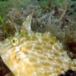 IMG_5463are Planehead Filefish (Stephanolepis hispidus) thumbnail