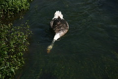 The Swoose feedfing in the river Frome (Son of Casterbridge) Tags: swan goose dorset hybrid swoose woolbridge