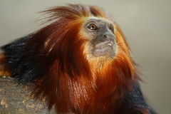 "Golden-headed lion tamarin ""Leontopithecus chrysomelas"" Mico-leão-de-cara-dourada (Fábio N. Manfredini) Tags: lion tamarin leontopithecuschrysomelas goldenheaded"