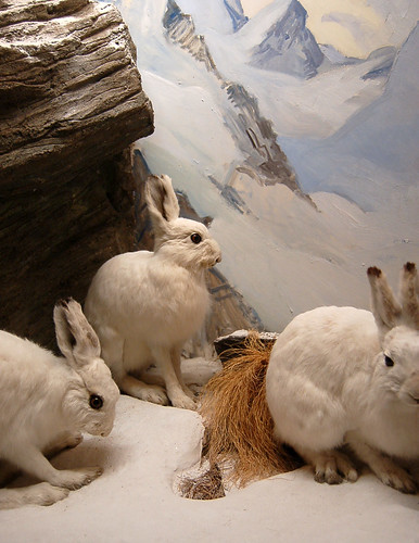 Alpine Rabbits