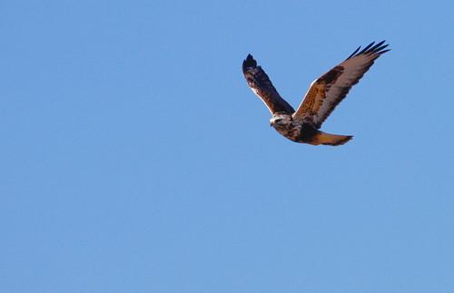 Rough-legged hawk-1.jpg