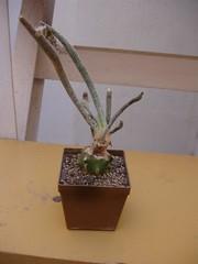 Digitostigma (jarekcactus) Tags: cactus graft digitostigma injerto cactodiarioblogspotcom