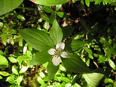 Bunchberry - dwarf dogwood