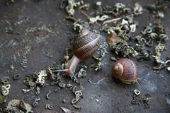 IMG_5945.JPG (Juan Carlos De Martin) Tags: snail lumaca