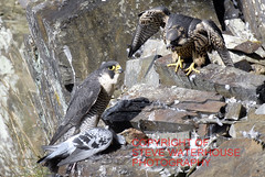 Peregrine Falcon feeding time with a pigion catch (spw6156) Tags: wood copyright woods with feeding time near steve plymouth falcon catch nationaltrust falcons raptors waterhouse peregrine pigion plymbridge peragrin cannquarry spw6156 stevewaterhouse plymperegrineproject plymbridgeperegrinefalcons copyrightstevewaterhouse