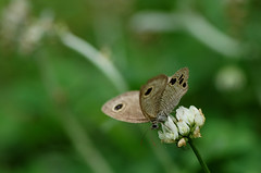 Ypthima argus (fcindy) Tags: butterfly specnature