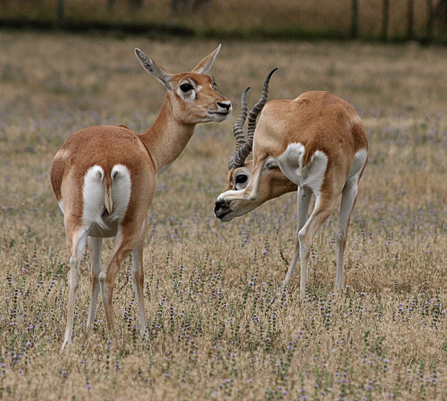 Black Buck Tricks
