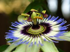 Passion Flower (mylin) Tags: blue white flower closeup petals purple regina passiflora passionflower pasionaria mylin flowerscolors allrightsreserved saskgardens