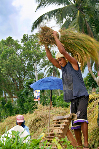 farm farming farmer rice harvest treshing Pinoy Filipino Pilipino Buhay  people pictures photos life Philippinen  菲律宾  菲律賓  필리핀(공화국) Philippines,rural