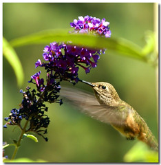 Just drinking (Carplips) Tags: bird hummingbird feeding drinking flapping hover buddliea aplusphoto