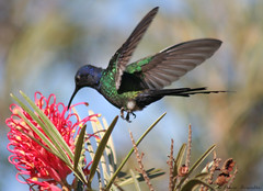 Beija-flor Tesoura (Eupetomena macroura) - Swallow-tailed Hummingbird 37 02-07-07 080 (Flvio Cruvinel Brando) Tags: brazil naturaleza color bird nature colors birds braslia brasil cores spectacular flying hummingbird natureza flight aves ave hummingbirds cor beijaflor tesoura vo colibri colorida voando vuelos naturesfinest swallowtailed macroura beijaflortesoura colibris featheryfriday eupetomenamacroura swallowtailedhummingbird eupetomena worldbest impressedbeauty theperfectphotographer