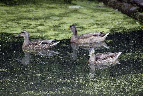 3 ducks, only one in focus.jpg