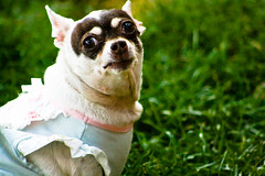 I Have Issues (tappit_01) Tags: dog chihuahua female dress epilepsy seizure
