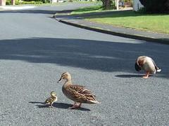 duck rescue 1