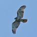 Washington Rock Hawk