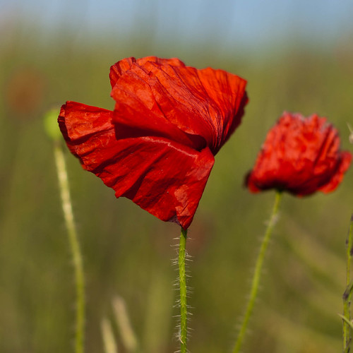 Poppies (5 of 5).jpg