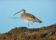 Curlew (Niall Anderson Photography) Tags: autumn wild mountains west birds landscape coast scotland ross highlands october scenery wildlife panasonic loch maree 2010 torridon gairloch curlew wester badachro fz38 fz35