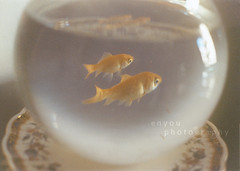 (e n y o u) Tags: light film water glass 35mm vintage 50mm goldfish fishbowl 18 expired canont70 pellicola rullino scaduto enyou