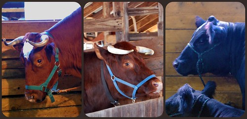 Cattle Collage