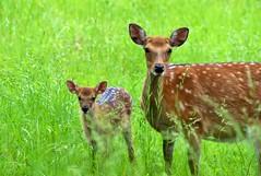 Belated Mother's Day (dbarronoss) Tags: fallowdeer soe naturesfinest parkstock cervusdama animalkingdomelite abigfave colorphotoaward woolroc