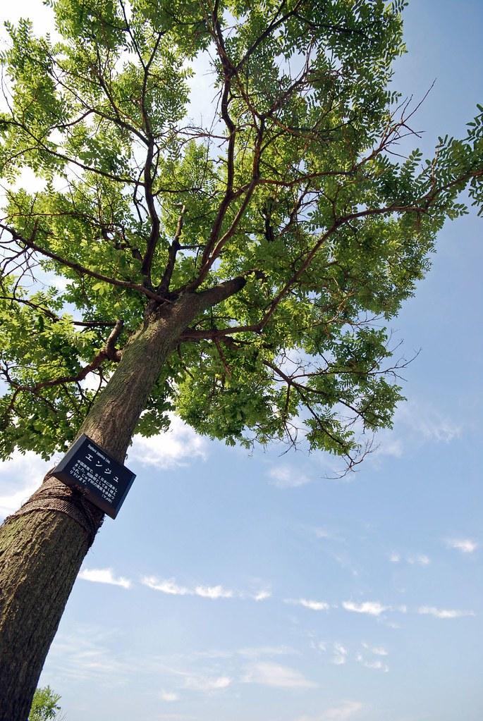 Honingboom Sophora Japonica Mijntuin Org