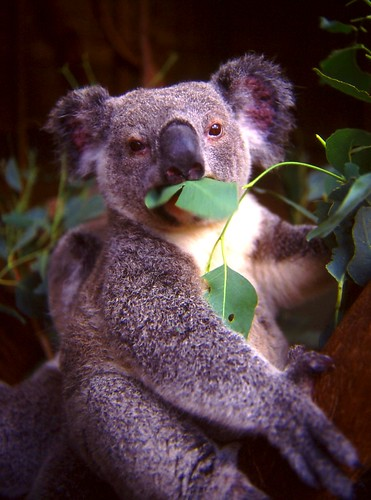 Munching Koala