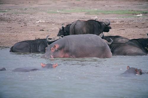 Uganda - QENP Hippo