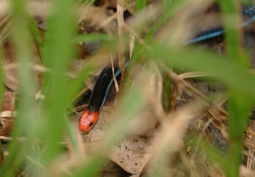 DSCF12_Blue Malayan Coral Snake (Maticora bivirgata)
