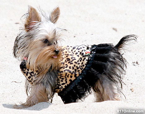 Paris hilton's mini-mutt shows off her flamboyant outfit on the beach by Paris hilton the biggest celebrity